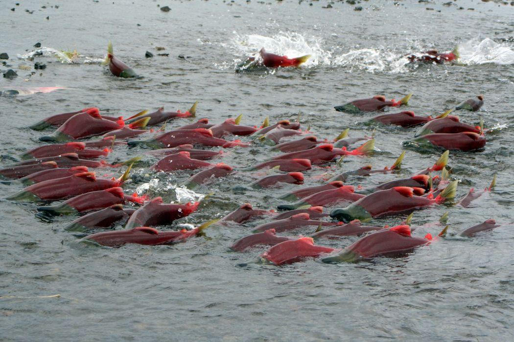 salmon fish river    j wallpaper