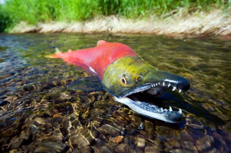 salmon fish river r wallpaper