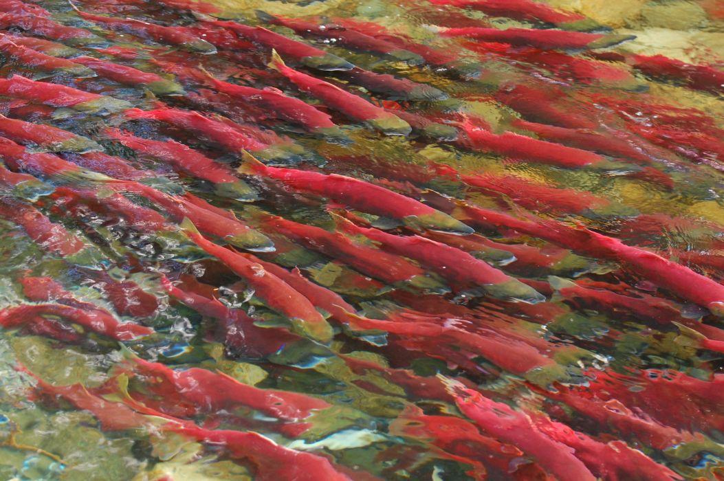 salmon fish river   t wallpaper
