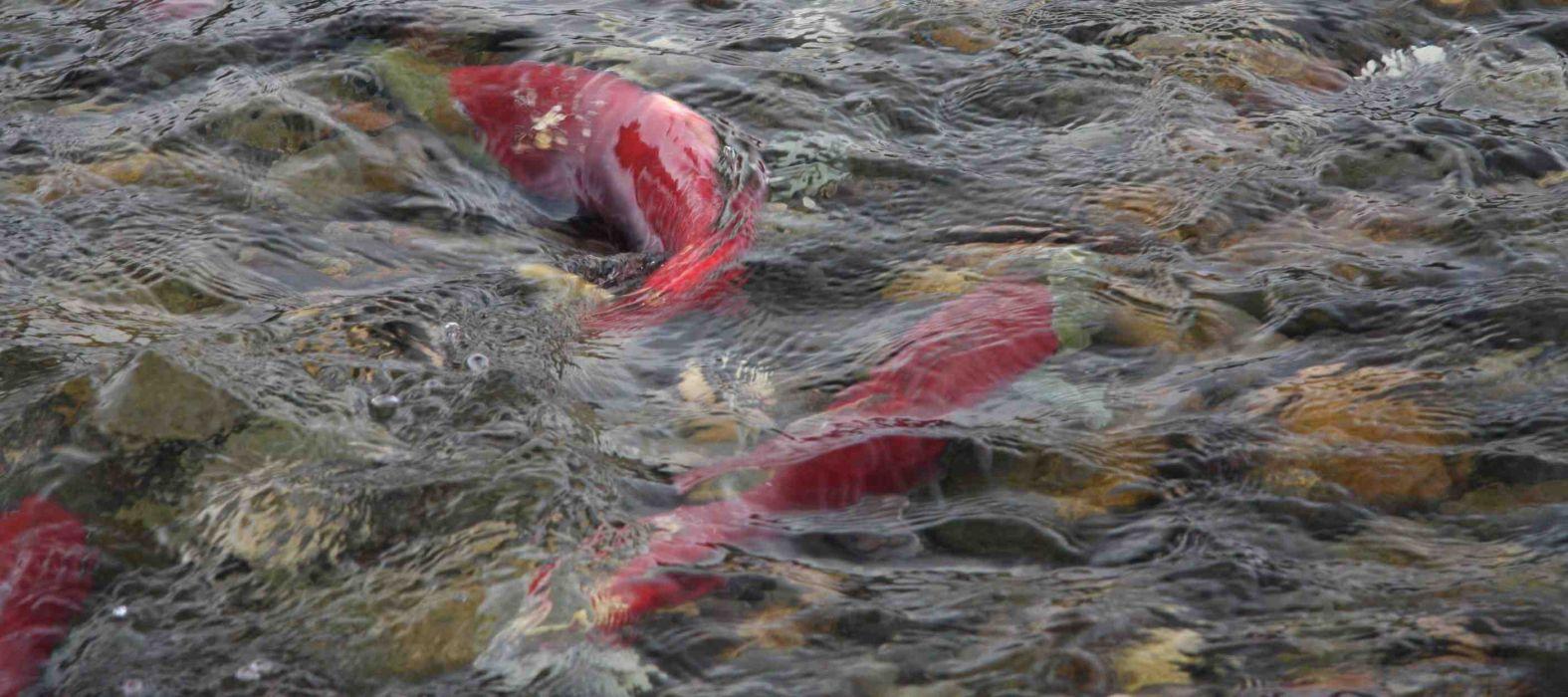 salmon fish river underwater        g wallpaper