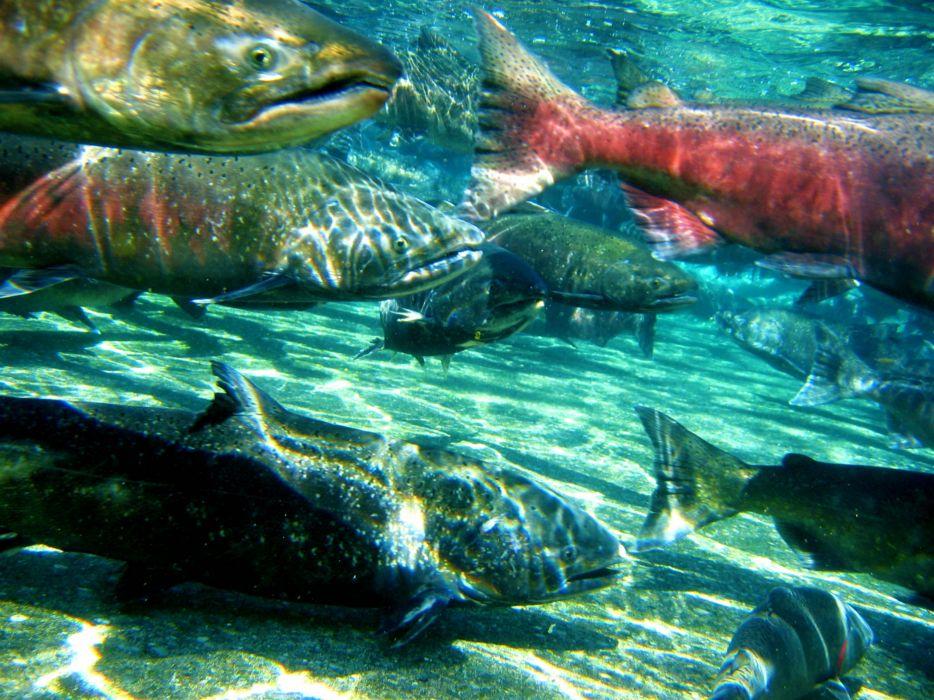 salmon fish river underwater   t3 wallpaper