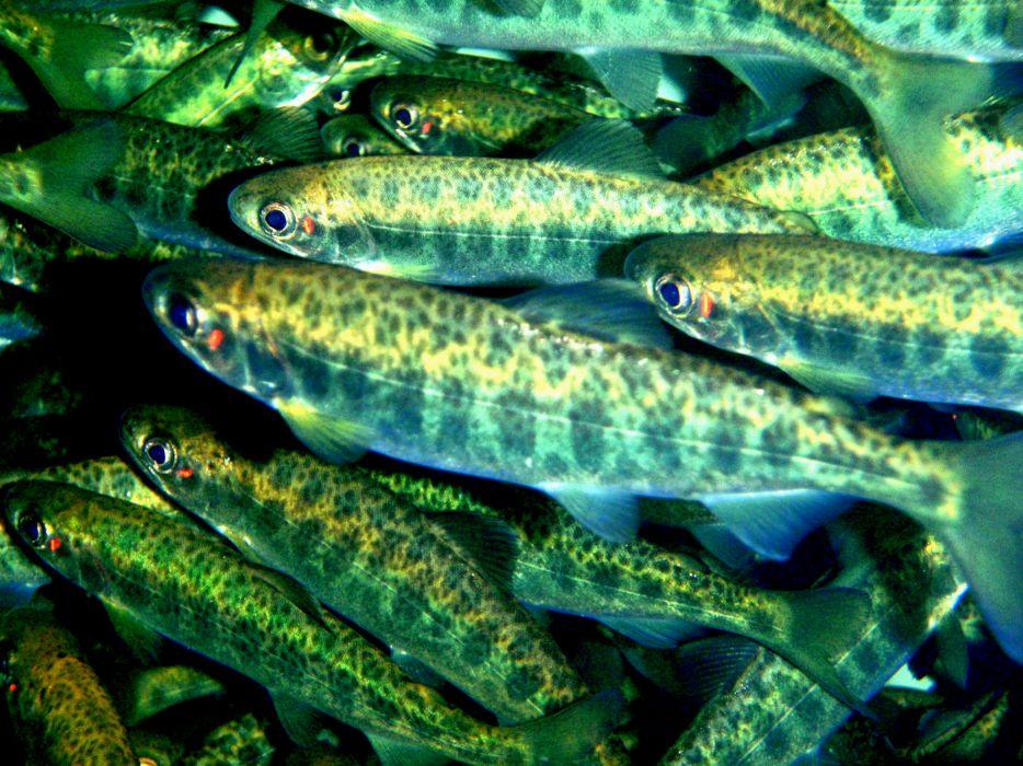 salmon fish river underwater  hf wallpaper