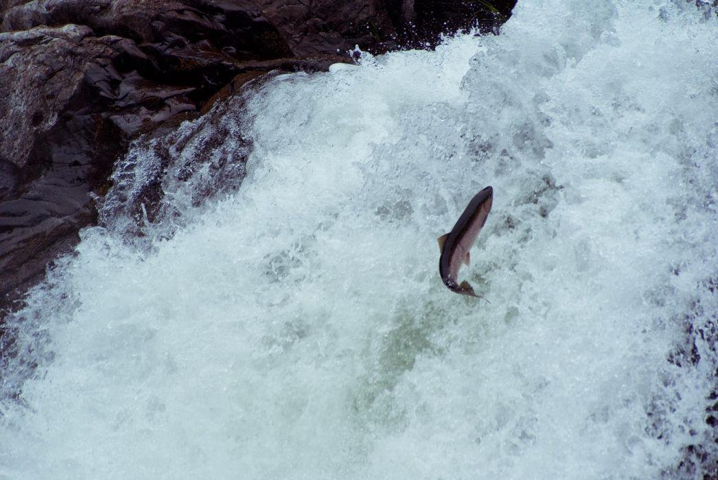 salmon fish river waterfall        g wallpaper