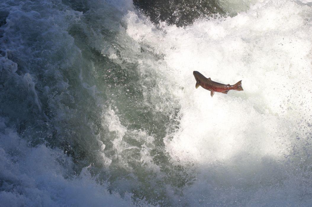 salmon fish river waterfall        u wallpaper