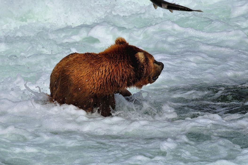 salmon fish river bear       g wallpaper