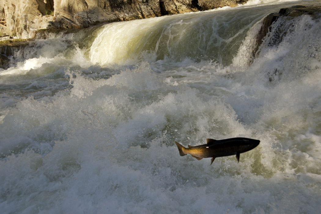 salmon fish river waterfall       r wallpaper