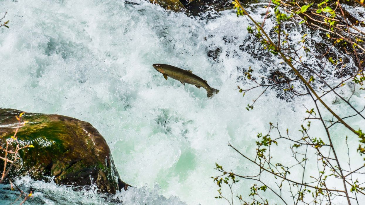 salmon fish river waterfall      f wallpaper