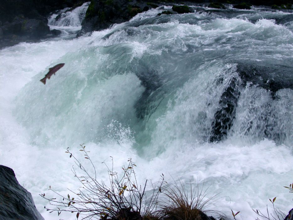 salmon fish river waterfall     y wallpaper