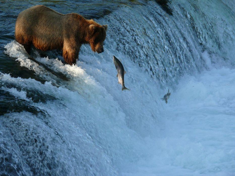 salmon fish river waterfall bear        y wallpaper