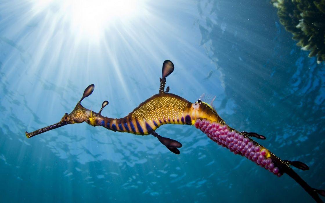 seahorse caviar underwater ocean sea wallpaper