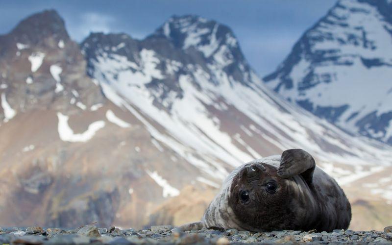 seal lies rocks mountains snow wallpaper