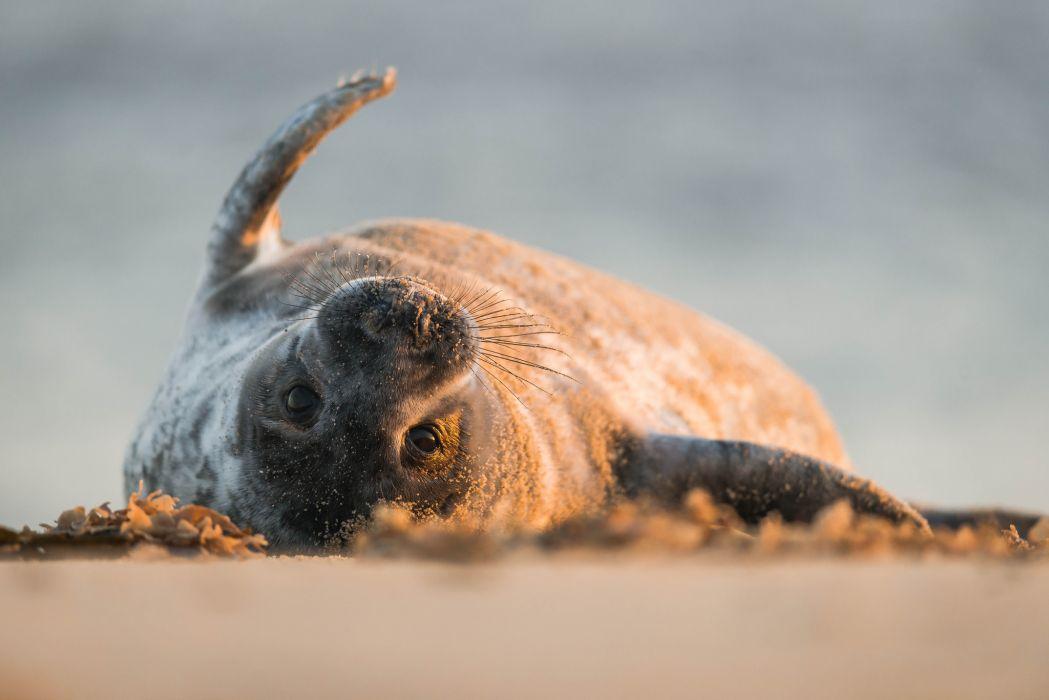 Seals Animals seal wallpaper