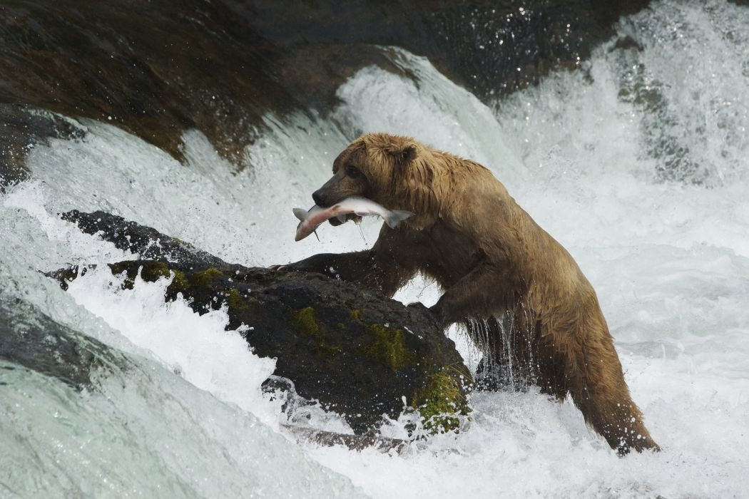 salmon fish river waterfall bear   i wallpaper