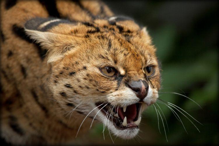serval bush cat wallpaper