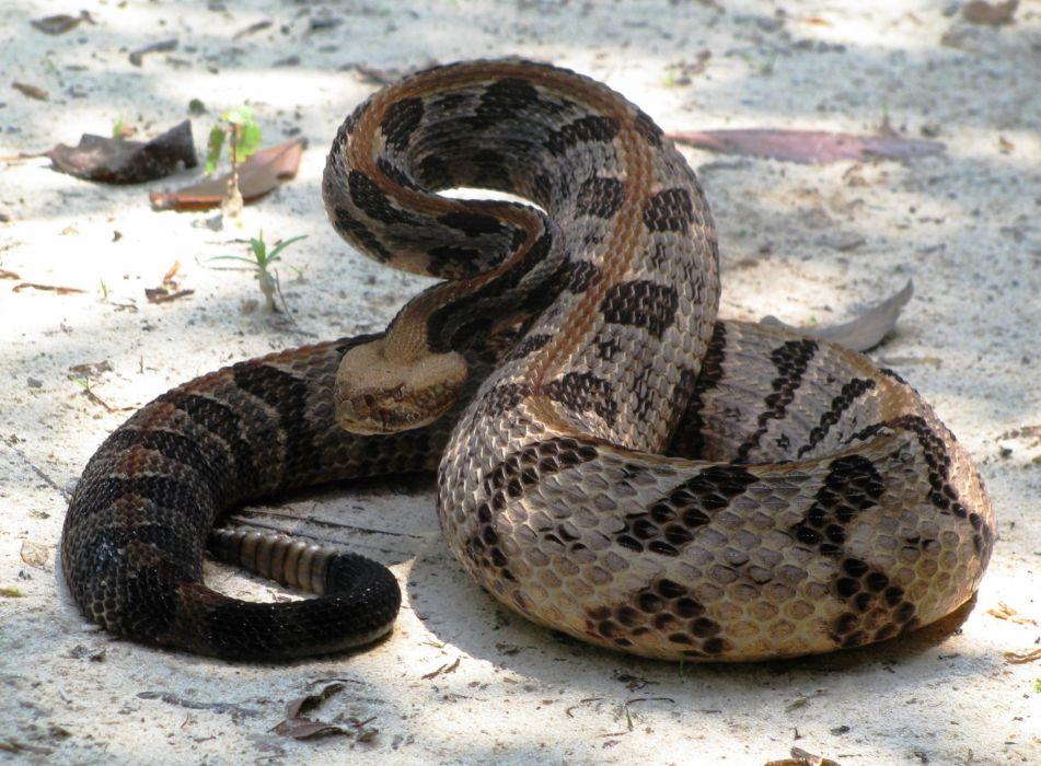 snake reptile snakes    ge wallpaper