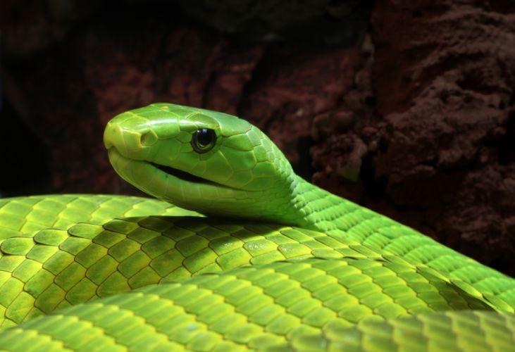 snake reptile snakes g wallpaper