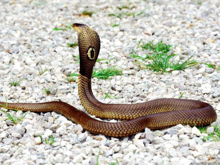 snake reptile snakes    f wallpaper