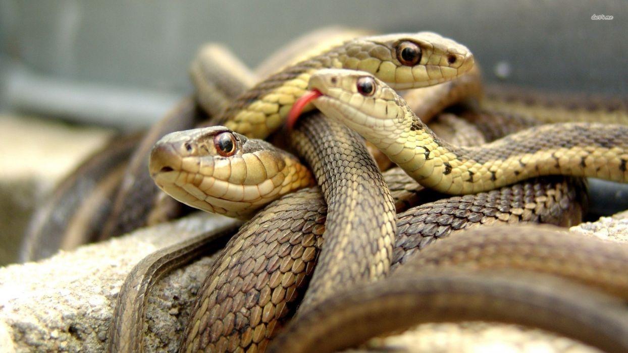 snake reptile snakes   gd wallpaper