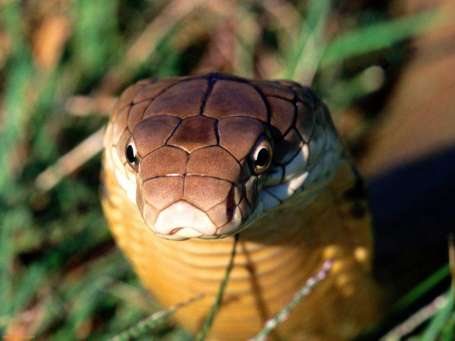 snake reptile snakes predator cobra   gd wallpaper
