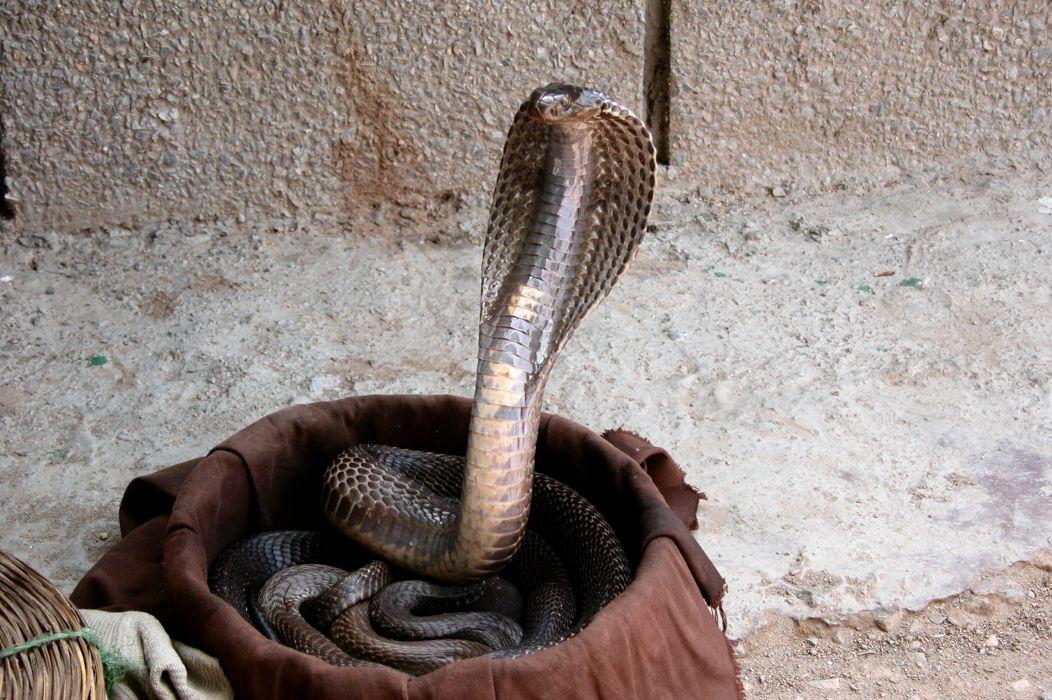 snake reptile snakes predator cobra f wallpaper