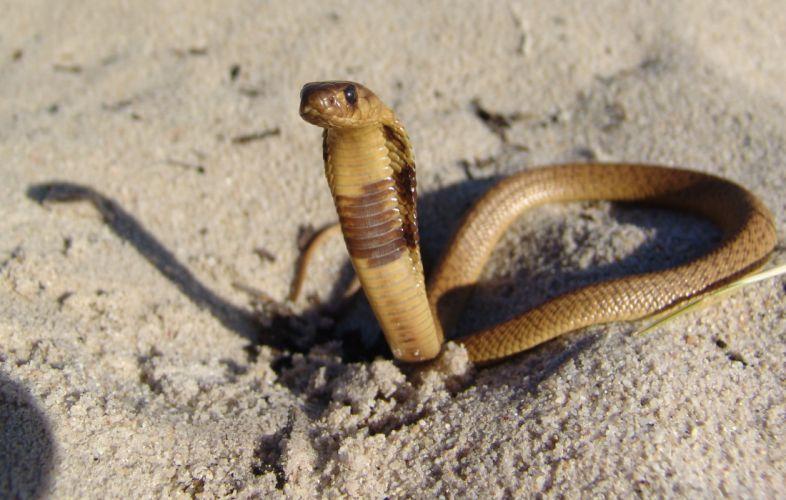 snake reptile snakes predator cobra t wallpaper