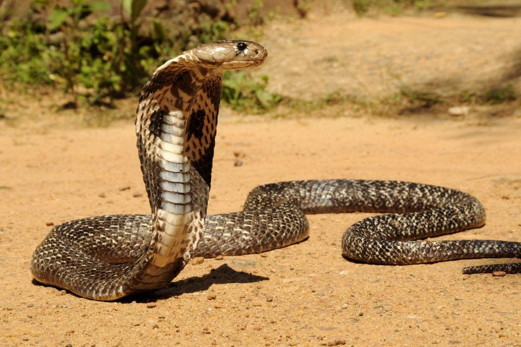 snake reptile snakes predator cobra   g wallpaper