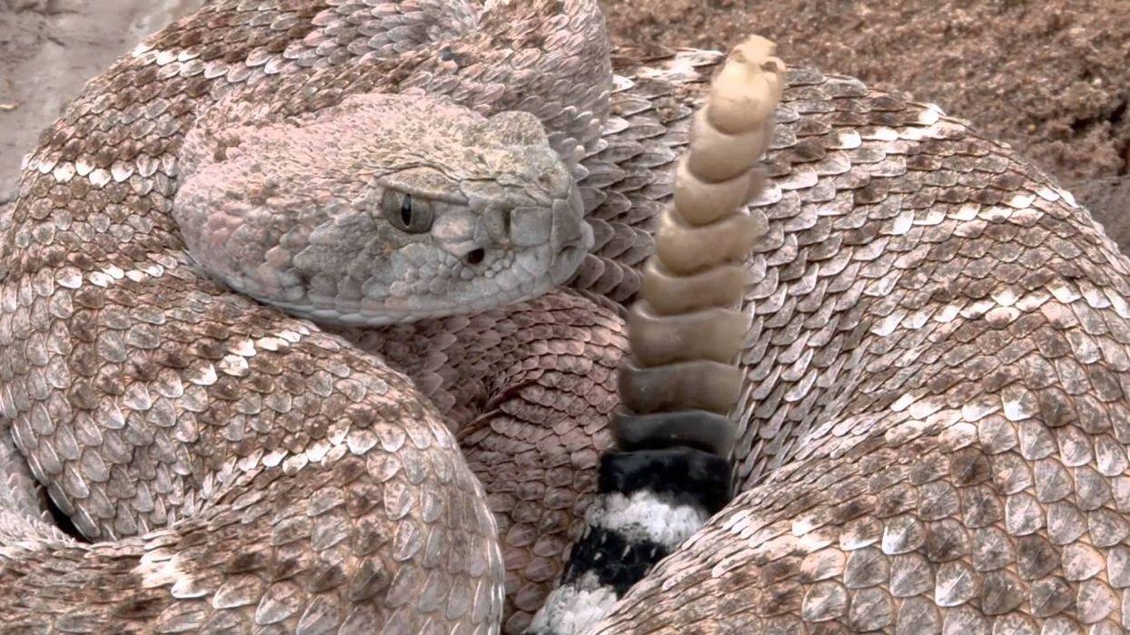 snake reptile snakes predator rattlesnake    7 wallpaper