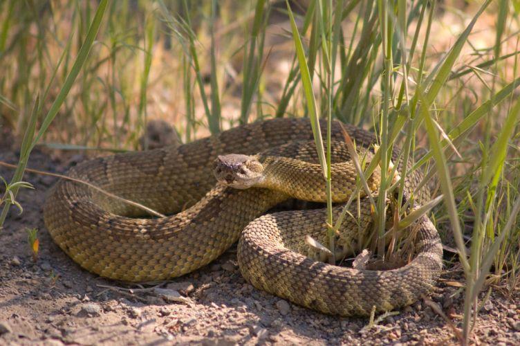 snake reptile snakes predator rattlesnake u wallpaper