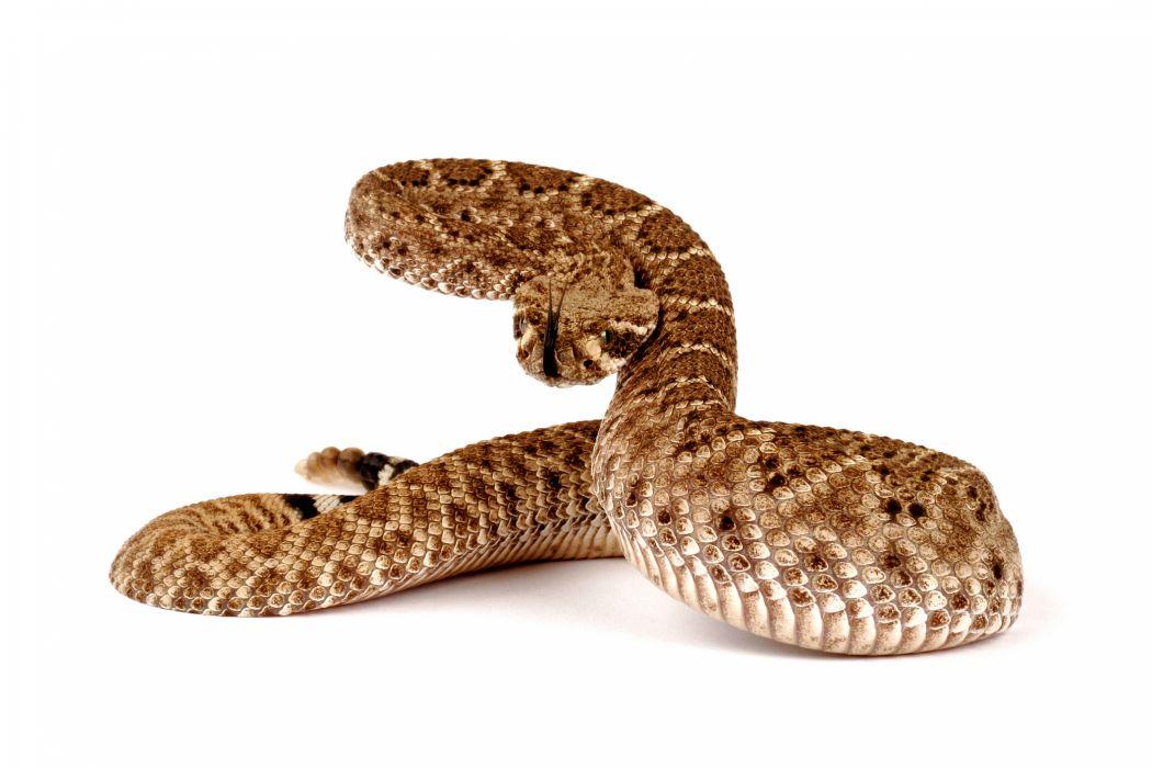 snake reptile snakes predator rattlesnake    ur wallpaper