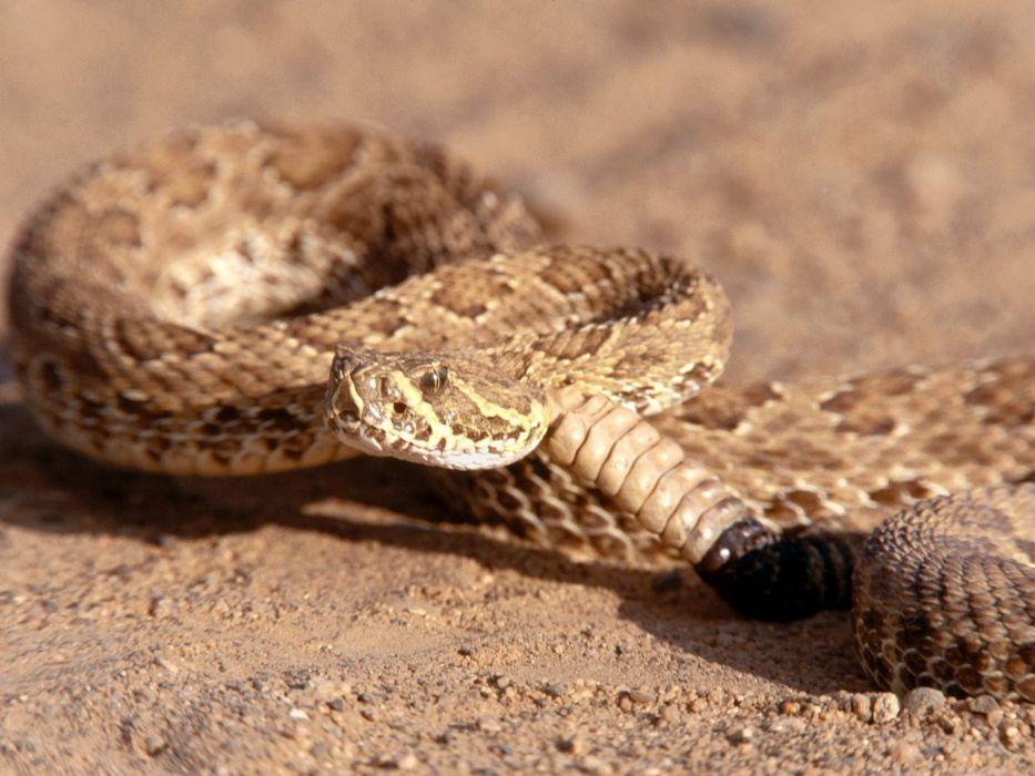 snake reptile snakes predator rattlesnake    yy wallpaper