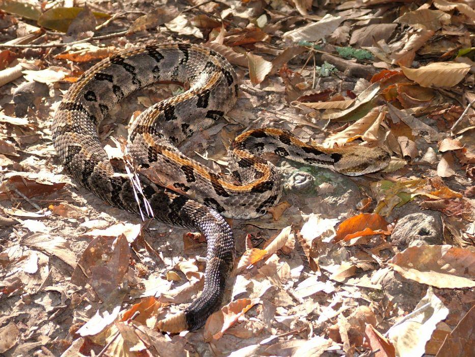 snake reptile snakes predator rattlesnake    7_JPG wallpaper
