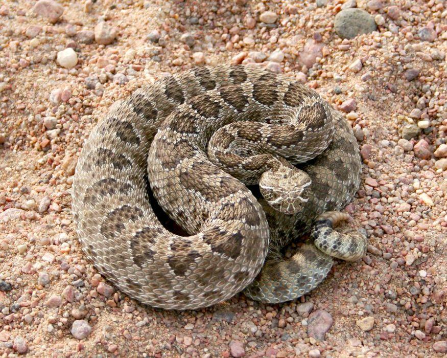 snake reptile snakes predator rattlesnake    gd wallpaper