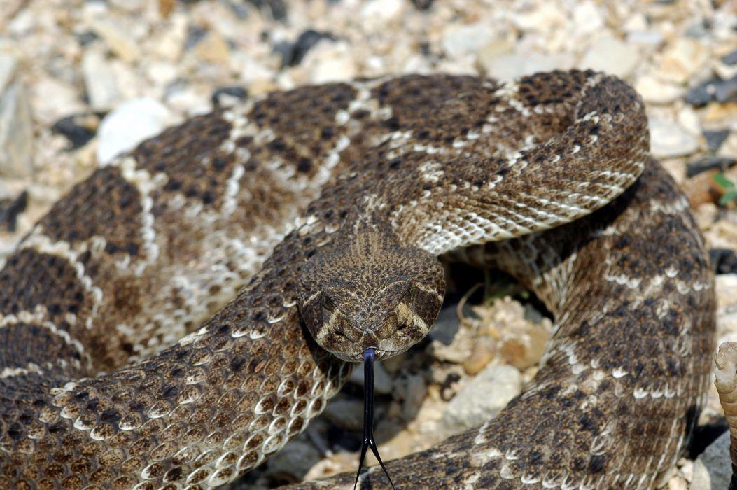 snake reptile snakes predator rattlesnake    g wallpaper