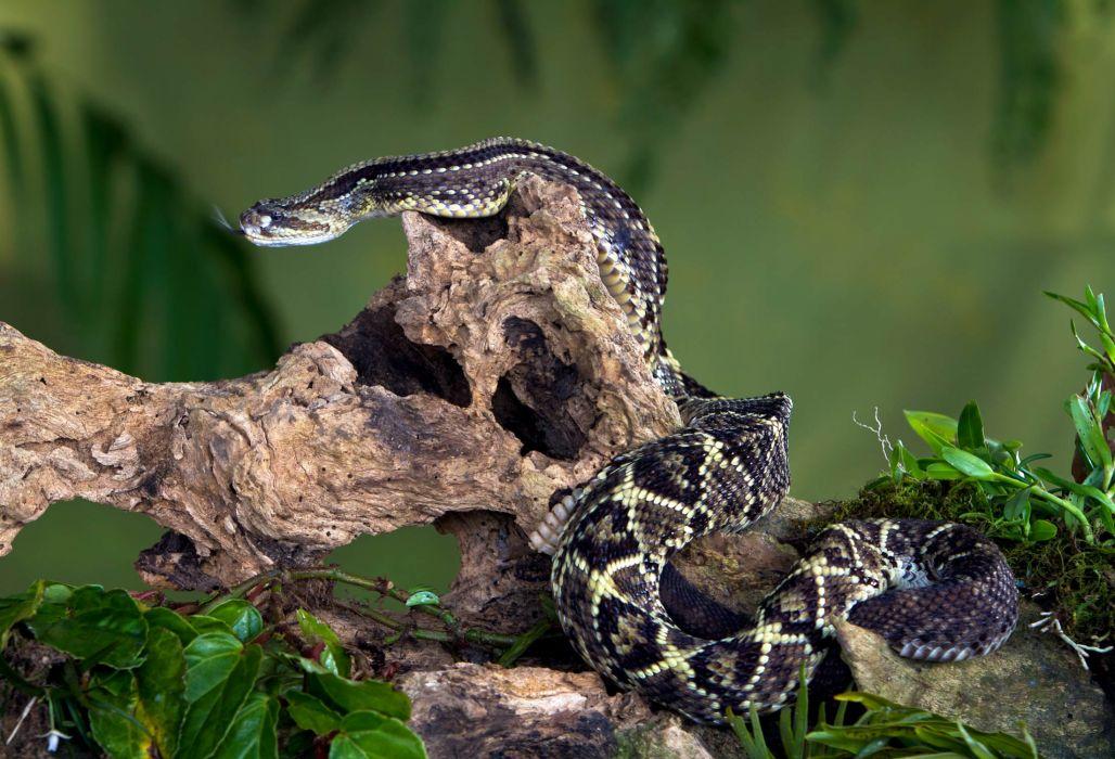 snake reptile snakes predator rattlesnake    o wallpaper