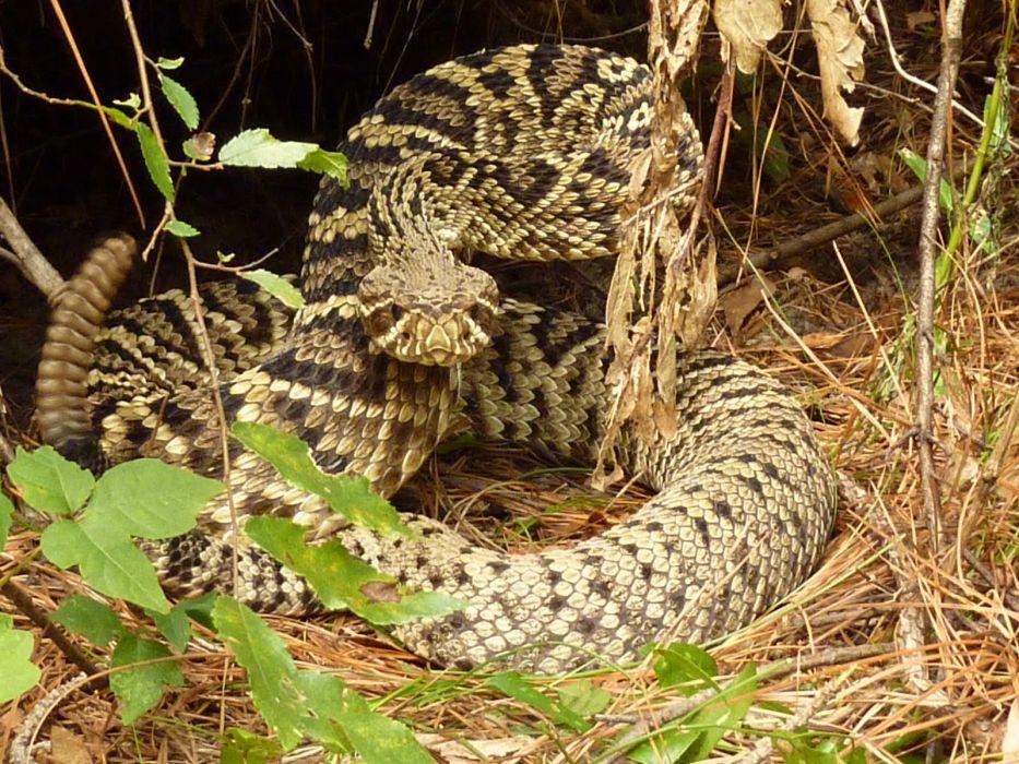 snake reptile snakes predator rattlesnake    yi_JPG wallpaper
