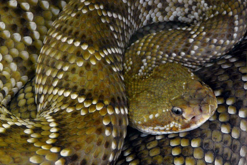 snake reptile snakes predator rattlesnake    yr wallpaper