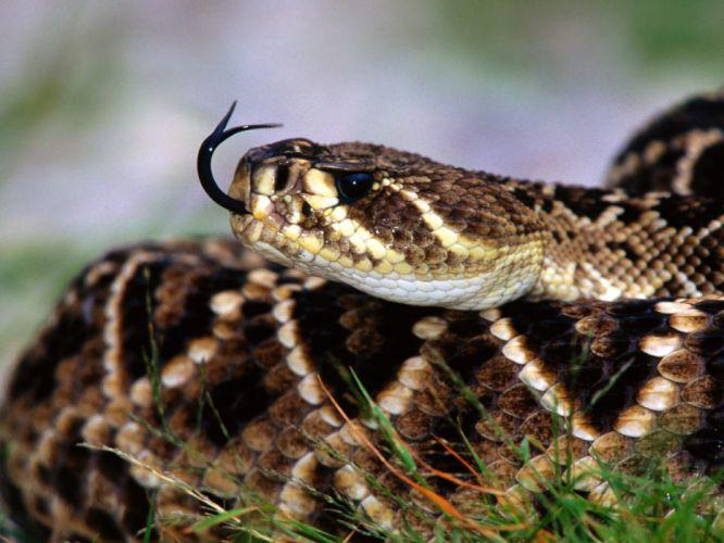 snake reptile snakes predator rattlesnake y wallpaper