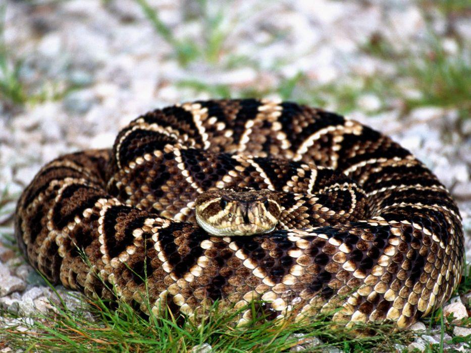snake reptile snakes predator rattlesnake   f wallpaper
