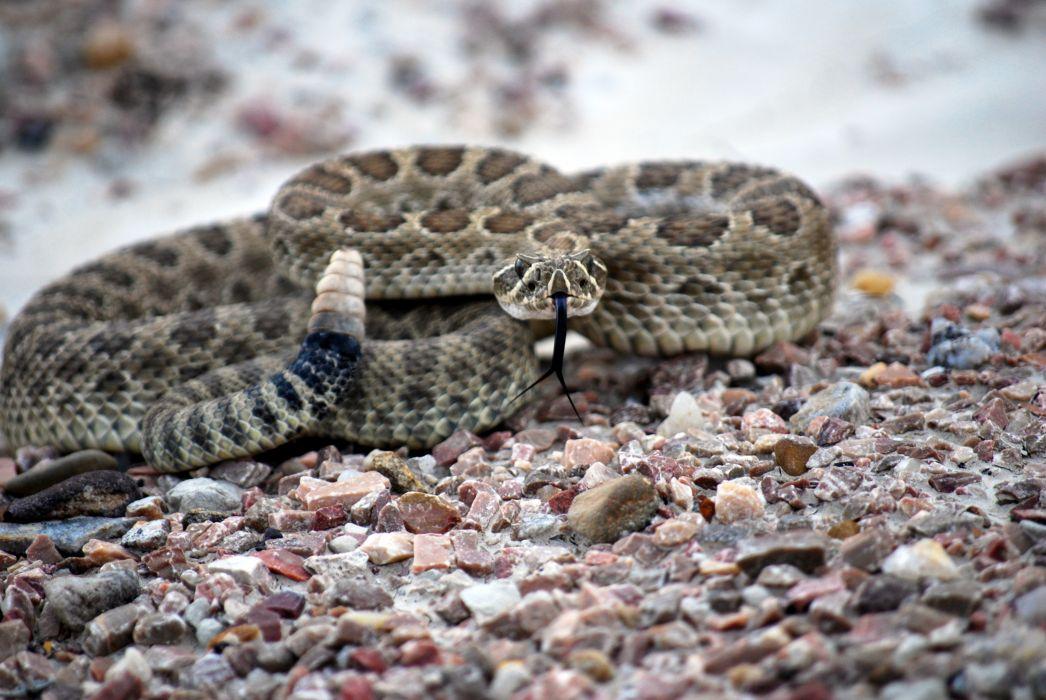 snake reptile snakes predator rattlesnake    ye_JPG wallpaper