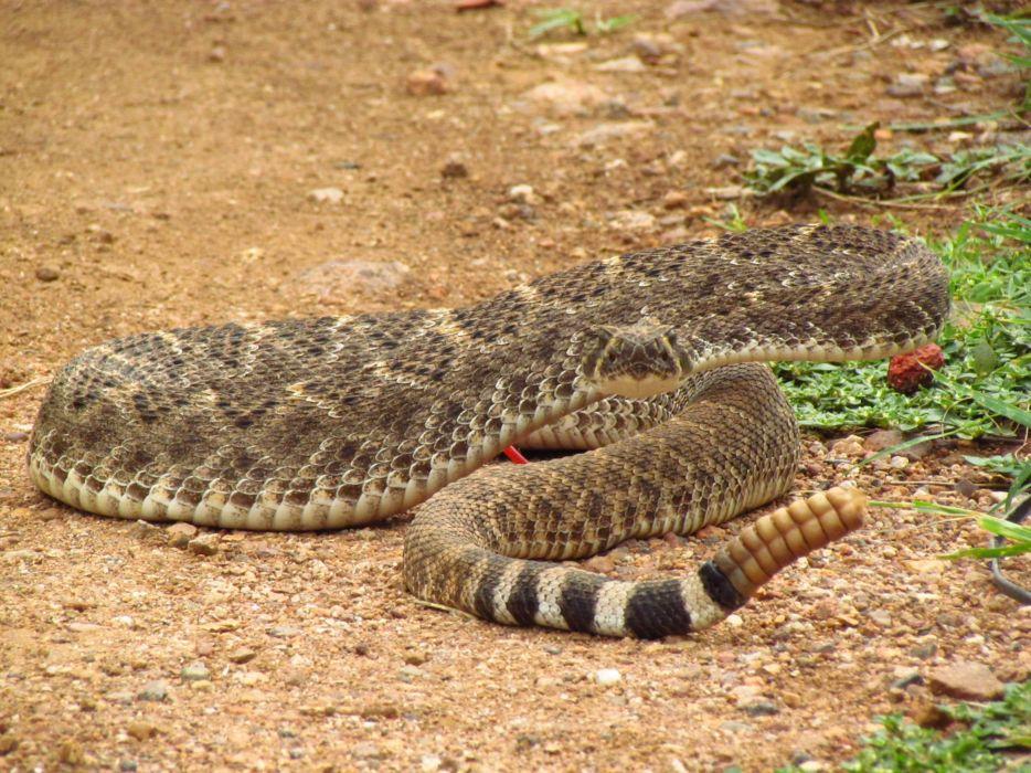 snake reptile snakes predator rattlesnake   i wallpaper