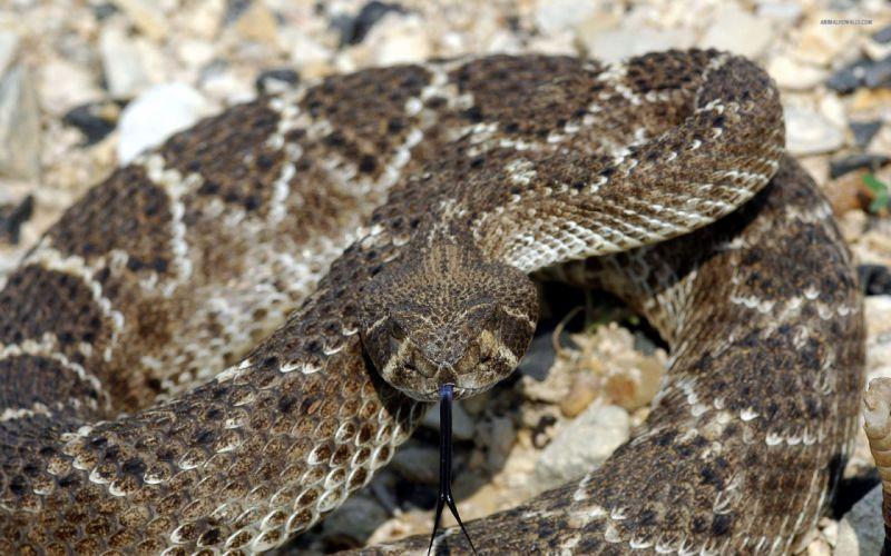 snake reptile snakes predator rattlesnake t wallpaper