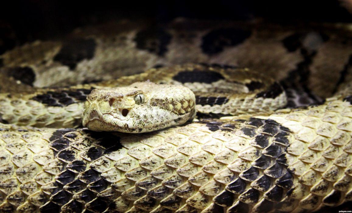 snake reptile snakes predator rattlesnake   tk wallpaper