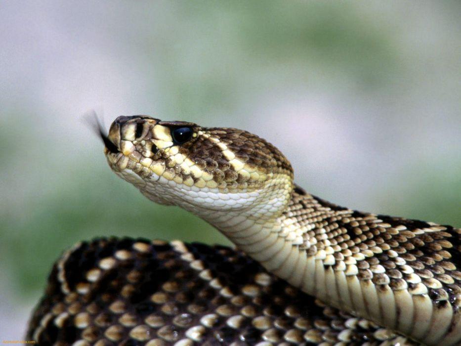 snake reptile snakes predator rattlesnake  e wallpaper