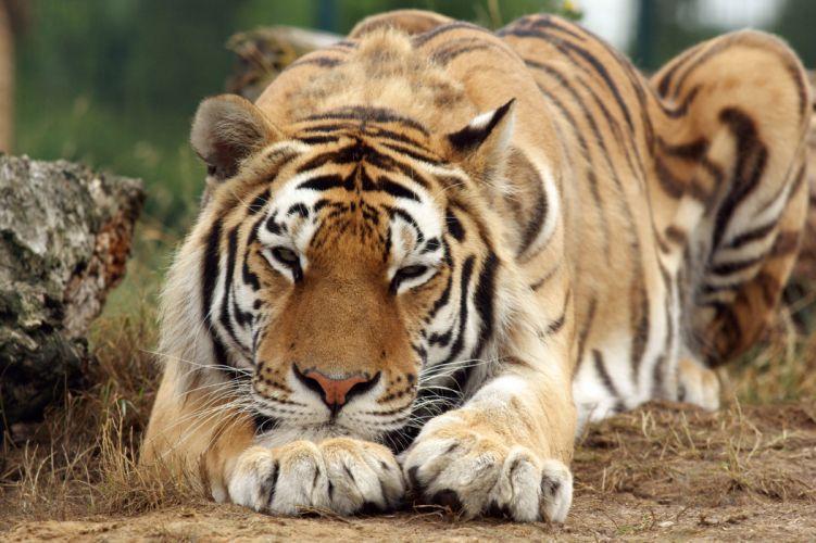 tiger predator f wallpaper