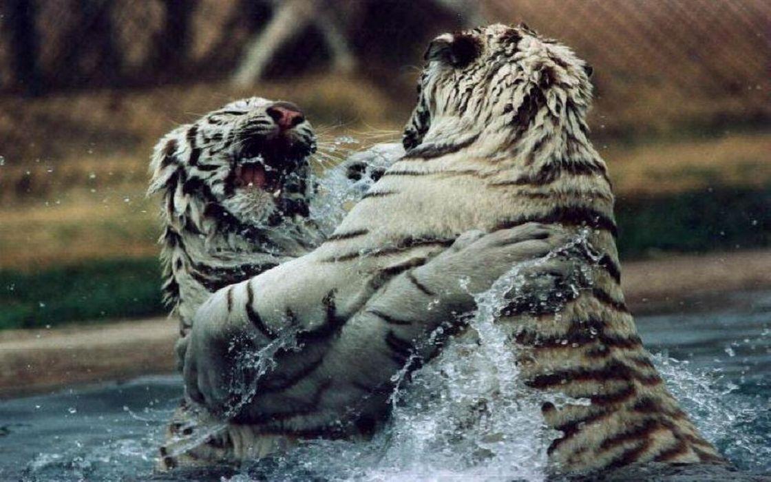 tiger predator battle       d wallpaper