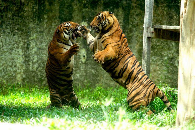 tiger predator battle h wallpaper