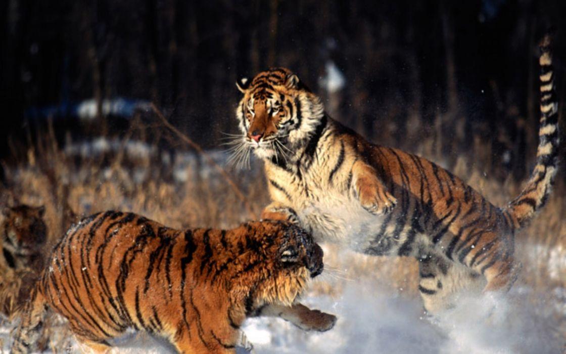 tiger predator battle     g wallpaper