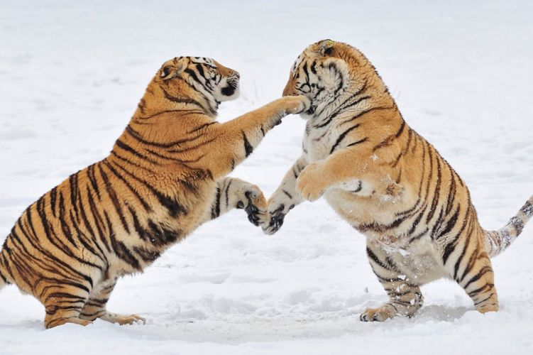 tiger predator battle j wallpaper