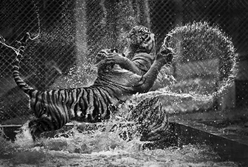 tiger predator battle drops      g wallpaper