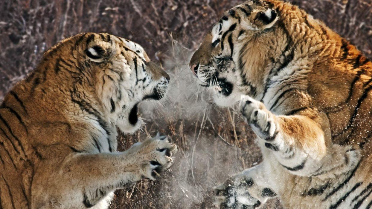 tiger predator battle winter   d wallpaper